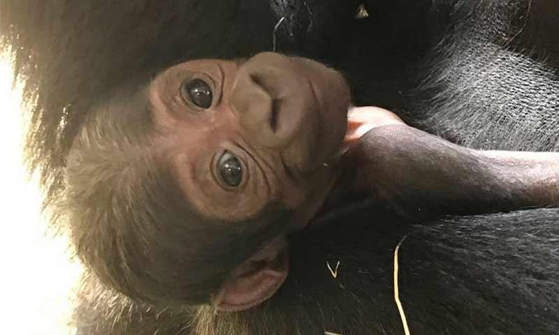 38a3b942304e ¿Por qué este gorila bebé le dio esperanza a su raza en peligro de extinción