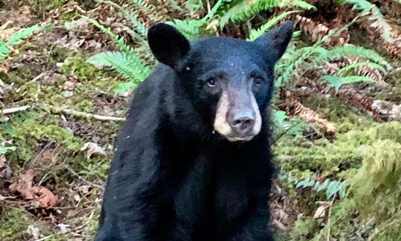 Sacrifican a un oso por ser demasiado amigable con los humanos