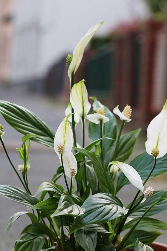 Espatifilo con flores blancas.