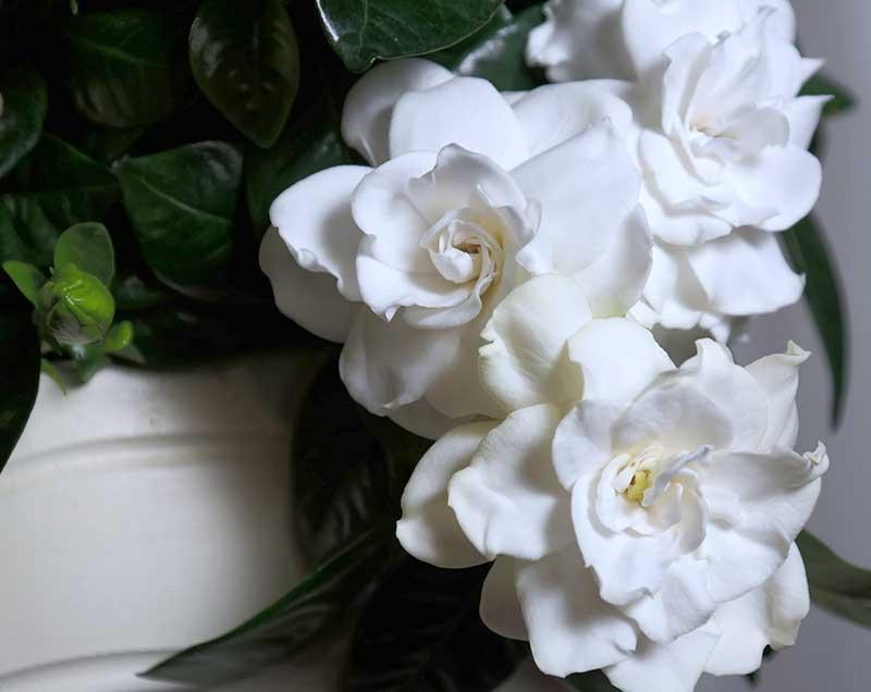 Jarrón con gardenia de flores blancas.