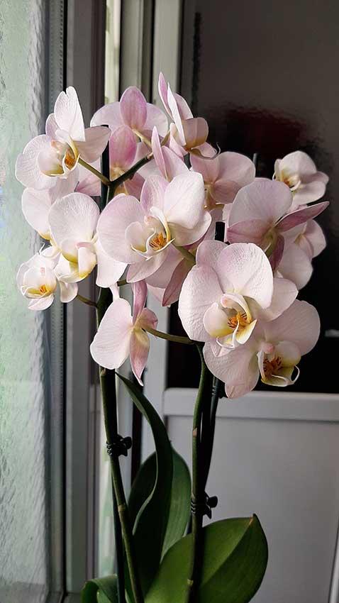 Orquídea rosa.